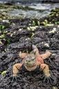 A male of Galapagos Marine Iguana resting on lava rocks Royalty Free Stock Photo