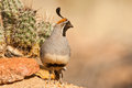 Male Gambel's Quail Royalty Free Stock Images