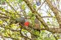 Male Gang-gang cockatoo  - Australian native bird Royalty Free Stock Photo