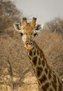 Male giraffe staring at viewer a stares with thorny background of namibia s etosha national park Royalty Free Stock Images