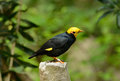 Male Golden-crested Myna (Ampeliceps coronatus) Stock Photo