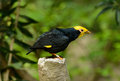 Male Golden-crested Myna (Ampeliceps coronatus) Royalty Free Stock Image