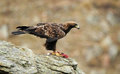Male golden eagle in its usual host a Stock Photos