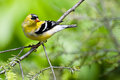 Male Goldfinch Changing to Breeding Colors in Spri Royalty Free Stock Photos