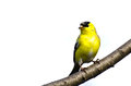 Male Goldfinch Perched on a Branch Stock Photography