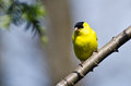 Male Goldfinch Perched on a Branch Stock Photos