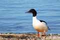 Male goosander standing on a seashore Stock Photos