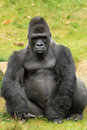 Male gorilla Stock Photo