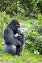 Male gorilla gorilla gorilla or silverback in jungle Stock Image
