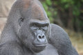 Male gorilla a western lowland sits and stares downward Royalty Free Stock Photography