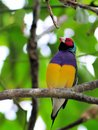 Male Gouldian finch bird Royalty Free Stock Photo