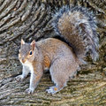 Male Gray Squirrel Stock Photo