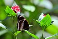 Male great eggfly butterfly flowers a under side standing on a leaf between two red pentas lanceolata flower bouquets in front of Stock Image