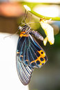 Male great mormon butterfly Stock Photos