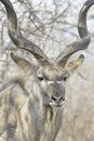Male greater kudu portrait Royalty Free Stock Photo