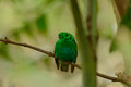 Male Green Broadbill (Calyptomena viridis) Royalty Free Stock Image