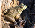Male Green Frog Royalty Free Stock Photo