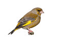 Male greenfinch isolated on white background Royalty Free Stock Photo
