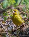A male Greenfinch ready to take a bath Royalty Free Stock Photo