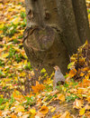 Male grey partridge a perdix perdix stands in front of a mighty tree among orange and yellow leaves during the lithuanian fall Stock Image