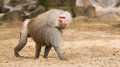 Male hamadryas baboon is walking on the ground Stock Photo