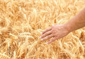 Male hand in gold wheat field Royalty Free Stock Photo