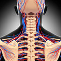 Male head back view circulatory system d art illustration of in gray Royalty Free Stock Images