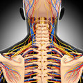 Male head back view circulatory system d art illustration of in gray Stock Photo