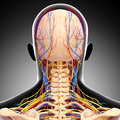 Male head back view circulatory system d art illustration of in gray Royalty Free Stock Photo