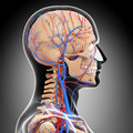 Male head back view circulatory system in gray d art illustration of Stock Images