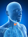 Male highlighted thyroid gland Royalty Free Stock Photos