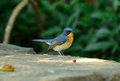 Male hill blue flycatcher beautiful cyornis banyumas possing Royalty Free Stock Photography