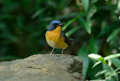 Male hill blue flycatcher beautiful cyornis banyumas possing Stock Images