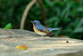 Male hill blue flycatcher beautiful cyornis banyumas possing Royalty Free Stock Images
