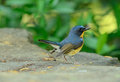 Male hill blue flycatcher beautiful cyornis banyumas possing Stock Photography