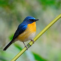 Male hill blue flycatcher colorful bird cyornis banyumas standing on the log breast profile Royalty Free Stock Photo