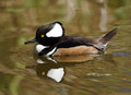 Male Hooded Merganser Royalty Free Stock Photo