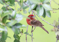 Male house finch bright red against soft green background selective focus on haemorhaus mexicanus perched in live oak tree against Royalty Free Stock Photo