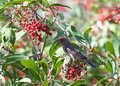 Male house finch perched in a berry bush, eating Royalty Free Stock Photo