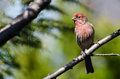 Male House Finch Perched on a Branch Royalty Free Stock Photography