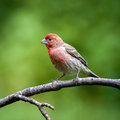 Male House Finch Royalty Free Stock Photo