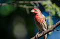 Male House Finch Perched in a Tree Royalty Free Stock Photo