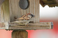 Male house sparrow bird in gray brown white with food seed in it its beak on a wooden feeder during summer europe Stock Image