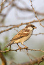 Male house sparrow bird sitting on a branch and looking Stock Photography