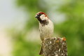 Male house sparrow over green background out of focus passer domesticus pearched on cement pillar Royalty Free Stock Images