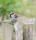 Male house sparrow passer domesticus on a tree trunk curious looking at the viewer Royalty Free Stock Photos