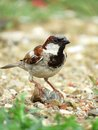 Male house sparrow perched on small stone sparrows has habit of perching stones while they are feeding grains spread ground Royalty Free Stock Photos