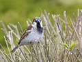 Male house sparrow in plumage on reeds bright beautiful showing off the Royalty Free Stock Image