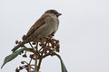 Male house sparrow sits on a plant Stock Photos