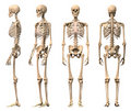 Male Human skeleton, four views. Royalty Free Stock Photo